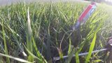 Tall fescue heat and drought stress and one way to manage it