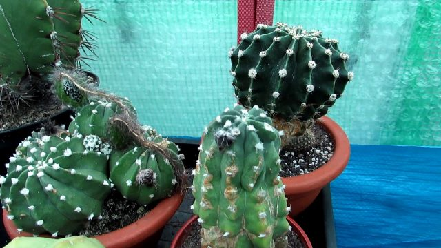 How to know when to Harvest Echinopsis Cactus Seeds The Sea Urchin Cactus- Domino Cactus