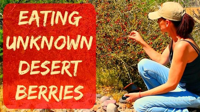 Eatable Desert Plants in Arizona – Goji Berries in Arizona (wolf berries) – Taste Test