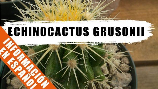 Echinocactus grusonii – Cactus de la semana – by Desert plants