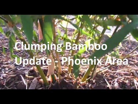 Clumping Bamboo Update – Phoenix Garden