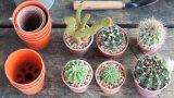 Cómo reproducir el cactus mediante esquejes – Bricomania