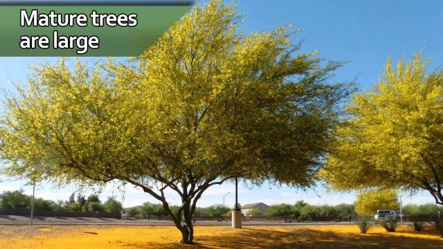 Southwest Home Gardening: Landscape Trees