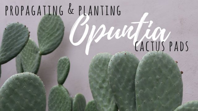 Propagating & Planting Opuntia Cactus Pads
