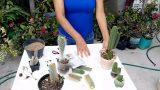 Como Reproducir Cactus por Esquejes (Corte)