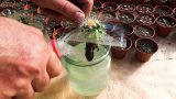CACTUS cultivation on HYDROPONICS. Experiment. Water or soil – any differ?