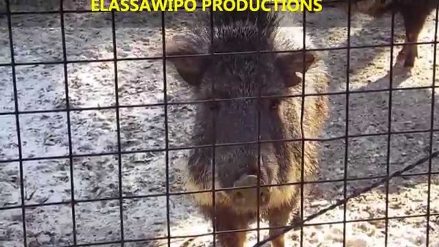 Ohh Peccary Pigs So Cute ! !