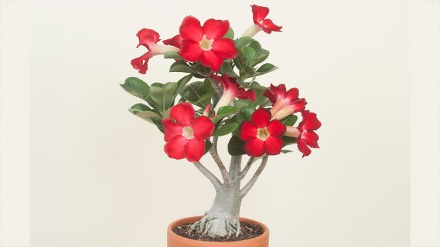 Desert Rose Plant: How to Grow Desert Rose and Adeniums