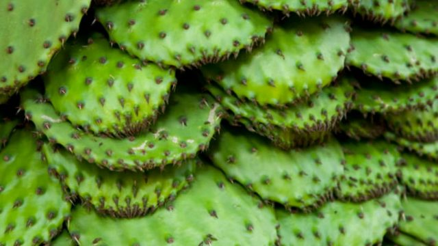 11 Impressive Benefits Of Nopales – Nopal Cactus Health Benefits