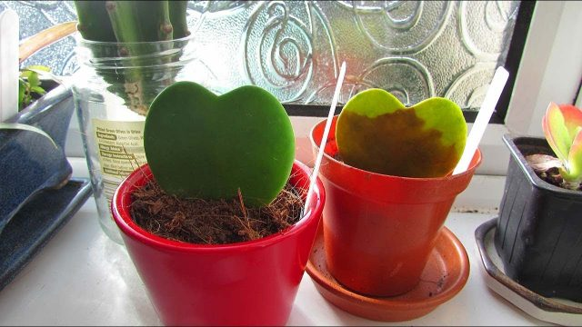 Avoid the Hoya Kerri Plant single leaf Valentines day GIMMICK