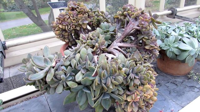 The Cacti & Succulent Plant Collection at Dublin Botanic Gardens Winter UPDATE