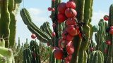 Health benefits of #peruvian_Apple_cactus || Cactus fruit benefits || #cereus_fruit || Cactus 🌵