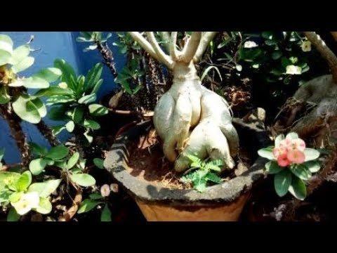 அதேனியம் செடி பராமரிப்பு,Tips to grow dessert rose plant, (adenium)