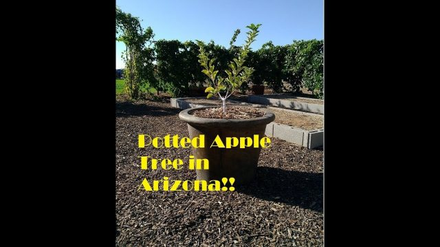Potted Apple Tree in the Arizona Desert