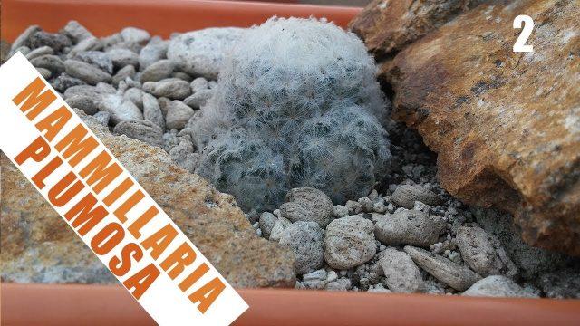 Ambientando una Mammillaria plumosa – by Desert plants
