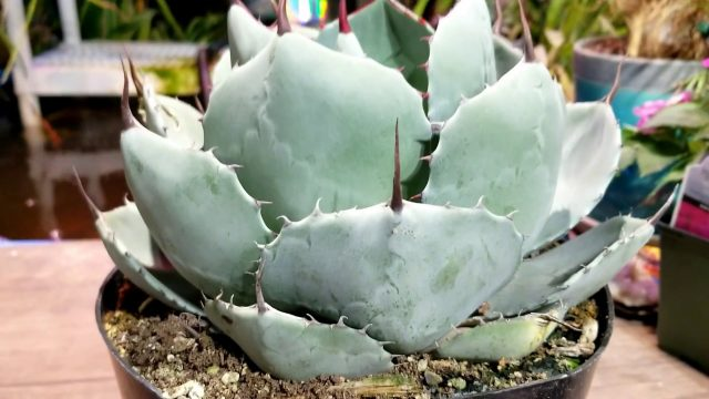 Growing Hardy Agaves! + Winter Protection For Hardy Agaves, Cactus & Succulents