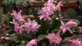 Cuidados del cactus de Navidad – Decogarden