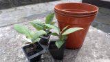 Re potting my Magnolia Tree Seedlings