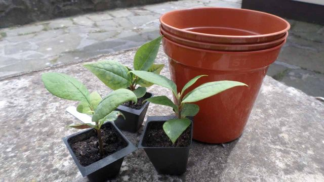 Re potting my Magnolia Tree Seedlings