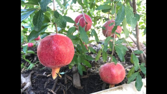 Growing Pomegranates in Arizona