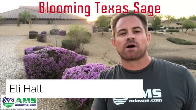 Easy Desert Plants: Blooming Texas Sage in Phoenix