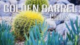 Using the Golden Barrel Cactus in your landscape!