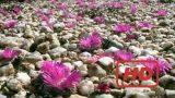 Documentary Of Plants BBC Natural World Africas Desert Garden – Legendado pt