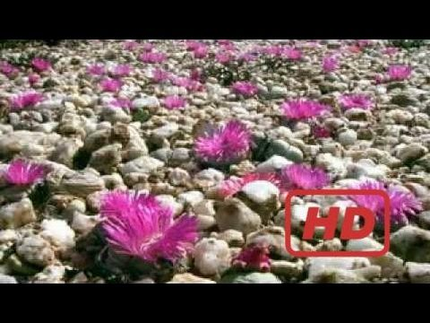 Documentary Of Plants BBC Natural World Africas Desert Garden – Legendado pt
