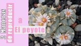 2 MANERAS de REPRODUCIR a El PEYOTE (Lophophora williamsii) – by Desert plants