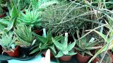 How to Grow and Care for Aloe Plants