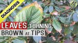 PLANT LEAF DRYING and BROWN at TIPS AND EDGES: Top 5 Reasons – Diagnosis Cure and Hacks (Tips)