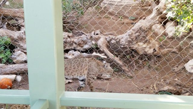 Bobcats and Mountain Lions at the Desert Gardens Wildlife Sanctuary in Carlsbad, NM