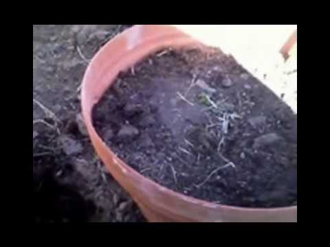 Arizona Desert Gardener – How to Plant in Containers Sunken into the Ground