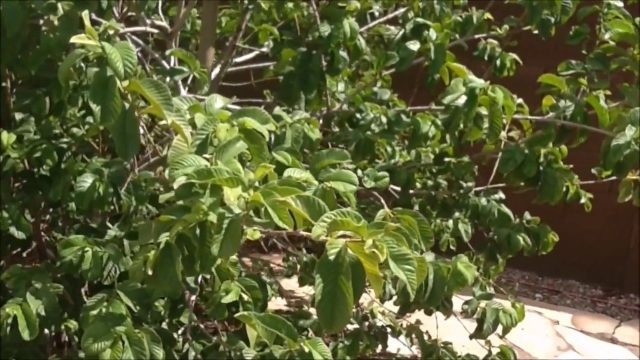 Summer 2018 AZ Urban Food Forest Walk Thru