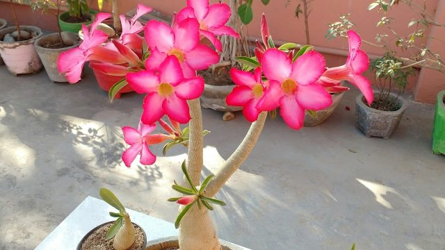 How to care Adenium plant bonsai with flowers | How to care desert rose, Adenium, Adenium bonsai