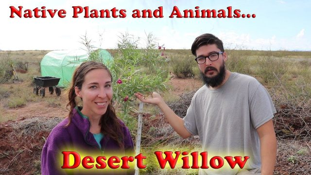 Native Plants and Animals- Desert Willow