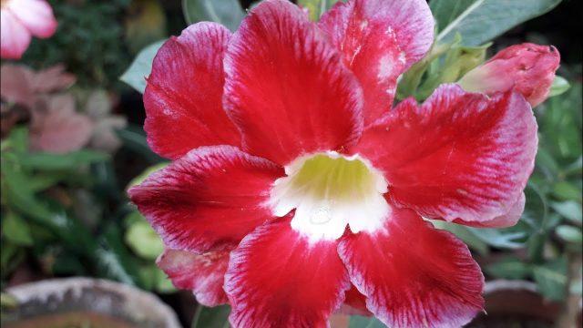 അഡീനിയം പരിചരണം /Adenium/Desert rose Plant care in malayalam