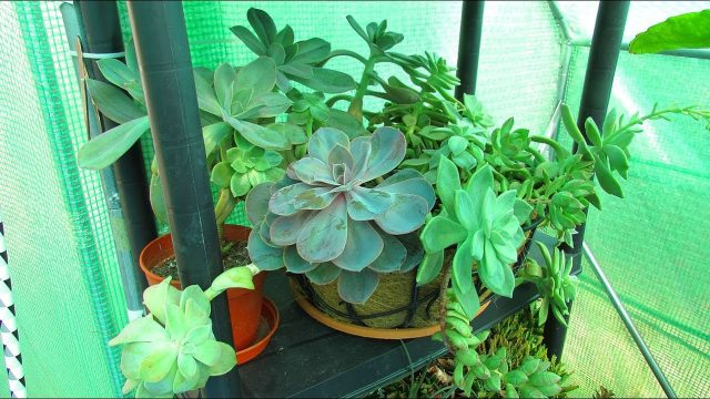 Re arranging Cacti & Succulent Plants & Cactus Seedlings in the Polytunnel