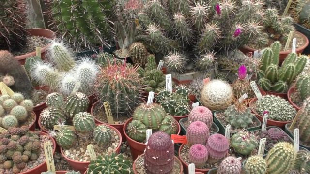 VERY LARGE RARE CACTI (CACTUS PLANT) PRIVATE GARDEN SPECIALIST COLLECTION Essex England 2018