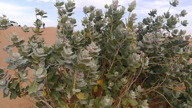 Desert Plant in Dubai / Sharjah Desert 18.02.2019