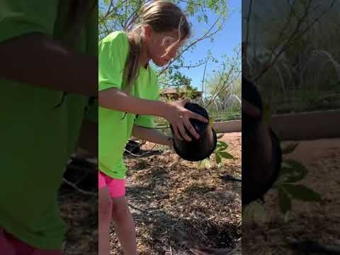 The Desert Gardens: Planting Sapote and Passion Fruit