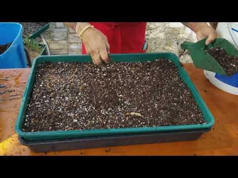 Planting desert roses from seeds