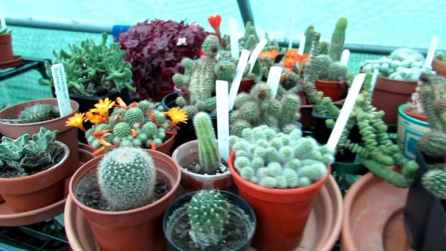 Cacti and Succulent Plants  in Flower and Bud in the Polytunnel – June UPDATE