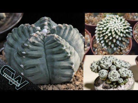 TOP 7 Cactus Más Difíciles De Conseguir