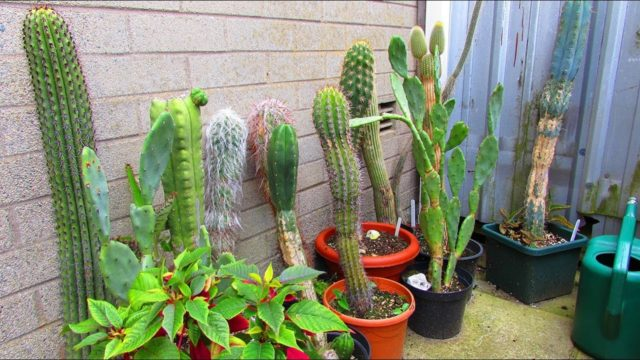 Cacti & Succulent Plant Collection in the Yard and Small Greenhouse July – UPDATE