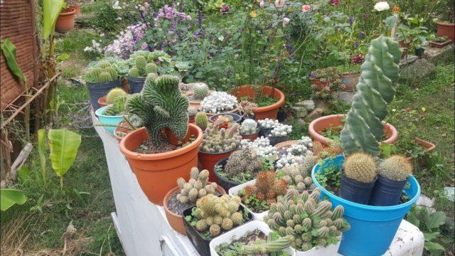 Tour por mis cactus, echeverias y suculentas con nombres – Parte 2