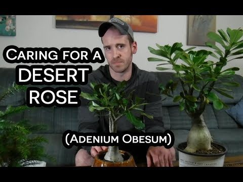 Desert Rose (Adenium Obesum) Care & Information