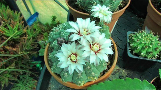 My Gymnocalycium Cactus Plants blooming beautiful in the Polytunnel