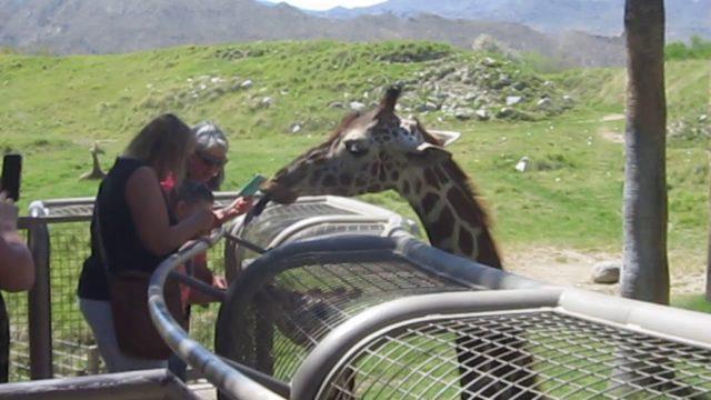Giraffe visit at the Living Desert Zoo in Palm Desert–