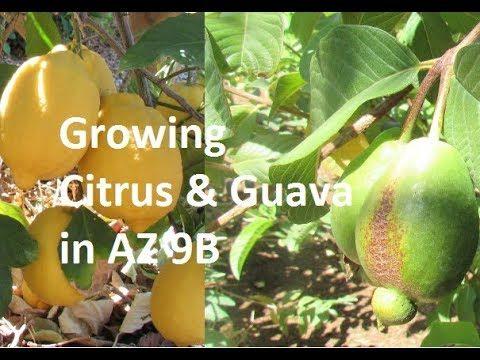Growing Citrus & Guava in the Phoenix Desert